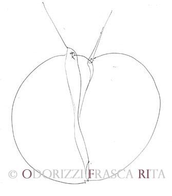 diesegni_illustrazioni_uccelli_ofri_serie_alfabeto_dell_intero_ofri_2005_uccelli_2